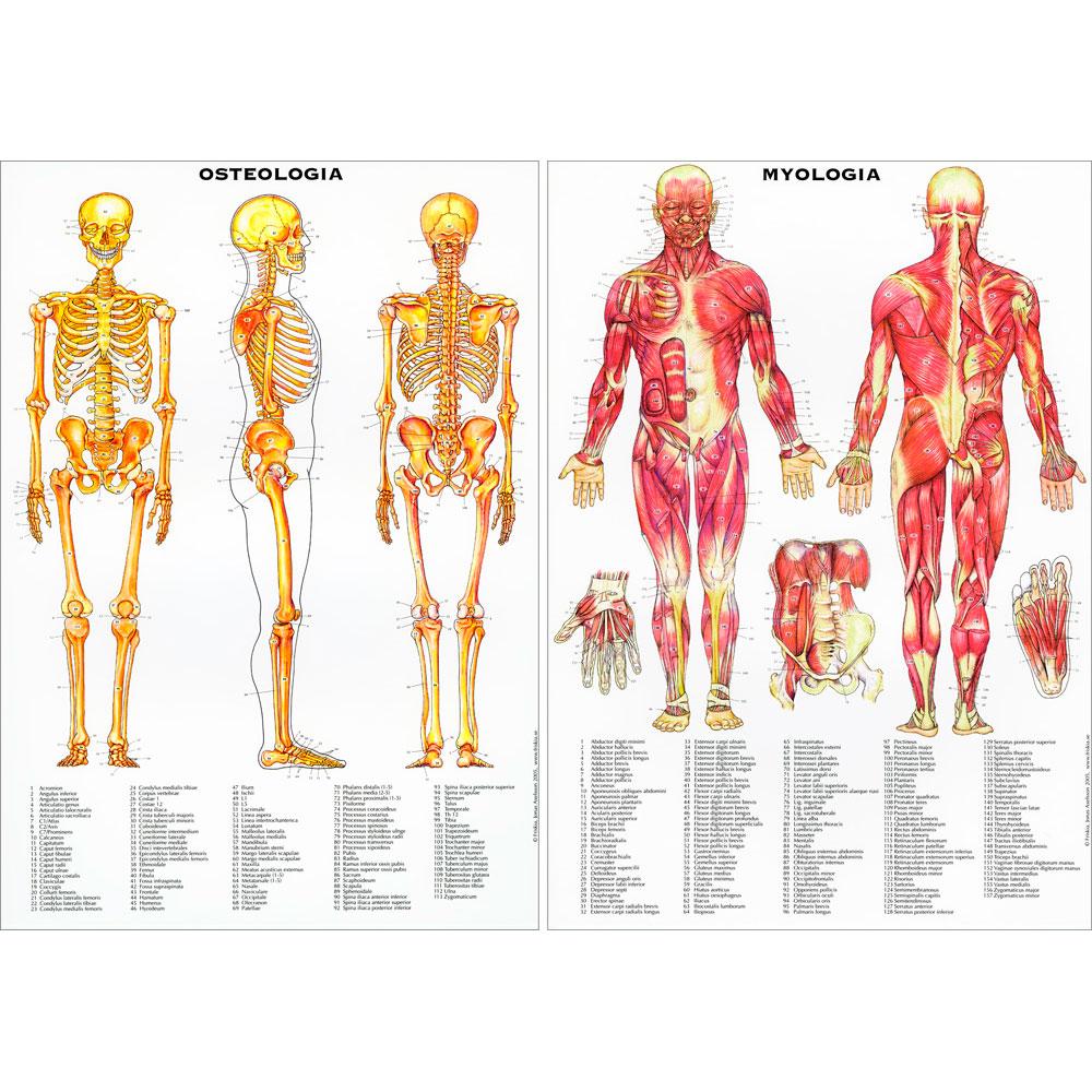 Anatomi Planscher Physio Academy